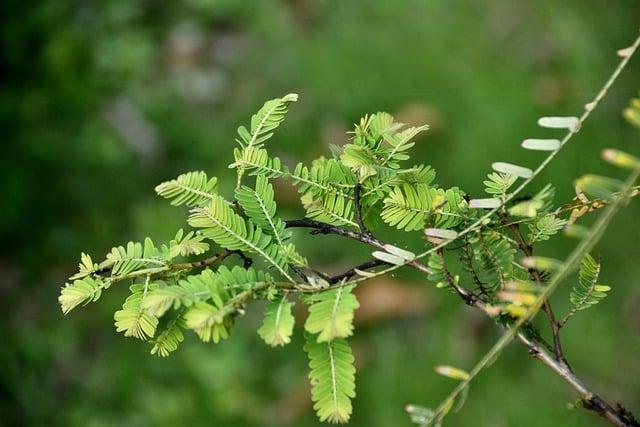henna planta